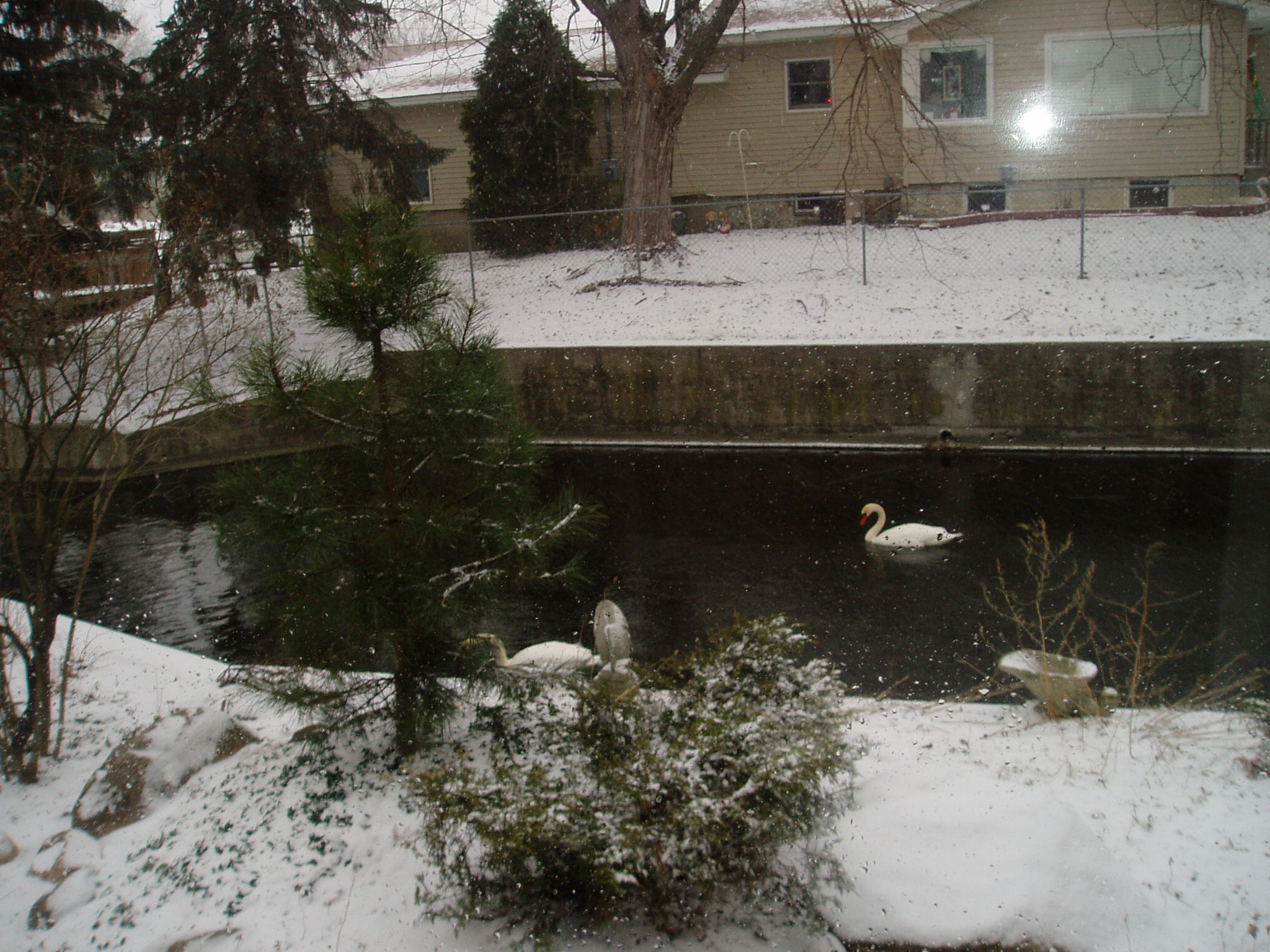 Swans in millrace